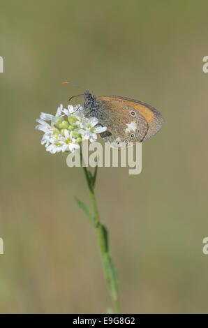 Chestnut Heath (Coenonympha glycerion) - Stock Photo