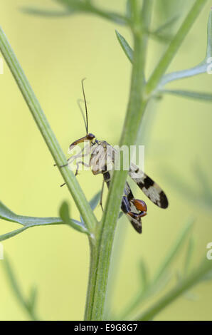 Common scorpionfly, male,  (Panorpa communis) - Stock Photo