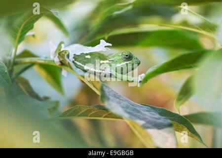 Flap-necked Chameleon (Chamaeleo dilepis) shedding its skin in a shrub in Livingstone, Zambia - Stock Photo