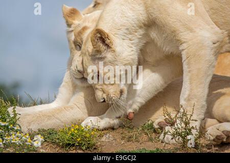 Two juvenile White Lions. - Stock Photo