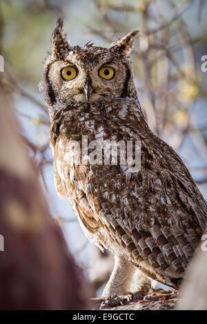 Spotted Eagle-owl (Bubo africanus) perched in the bough of a tree on Kubu Island, Botswana - Stock Photo