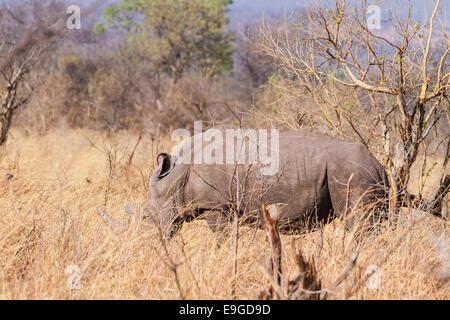 White Rhinoceros (Ceratotherium simum) feeding in shrubland in Mosi-oa-Tunya National Park near Victoria Falls, - Stock Photo