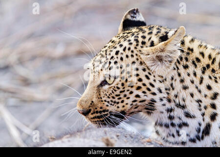 Female African leopard feeding on an African elephant calf, Chobe National Park, Botswana - Stock Photo