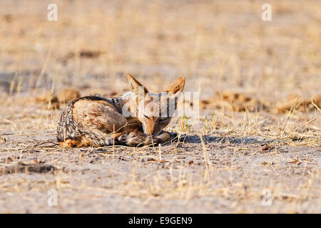 Black-backed jackal (Canis mesomelas) sleeping at sunrise, Chobe National Park, Botswana - Stock Photo