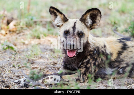 African wild dog (Lycaon pictus) resting in the shade after hunting - Stock Photo
