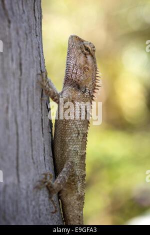 Closeup of an Oriental Garden Lizard (Calotes versicolor) at a tree - Stock Photo
