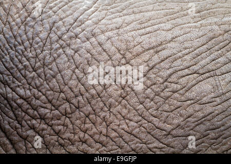 Close-up of the wrinkled skin of an African Elephant (Loxodonta africana) revealing abstract details, patterns and - Stock Photo