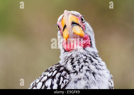 Close-up of a Southern yellow-billed hornbill (Tockus leucomelas) in Botswana - Stock Photo