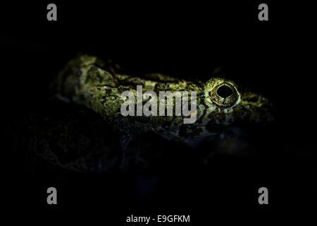 Asian Grass Frog (Fejervarya limnocharis) - Stock Photo
