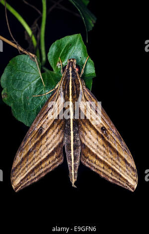 Moth resting on plant in tropical rainforest in Malaysia - Stock Photo