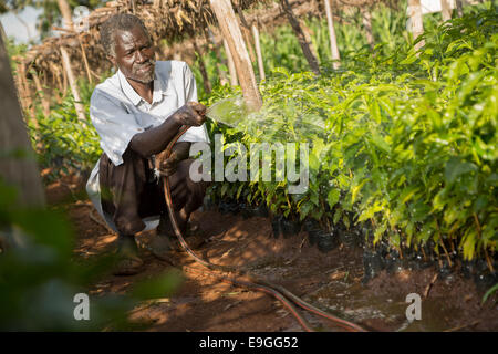 A farmer waters coffee seedlings at a coffee nursery at Kabondo Farmers' Cooperative Society in Rachuonyo South, - Stock Photo
