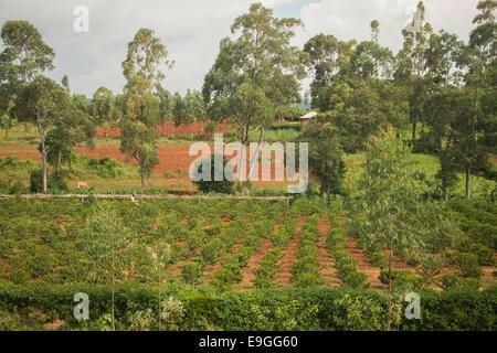 Coffee farm at Kabondo Farmers' Cooperative Society, Rachuonyo South, Kenya. - Stock Photo