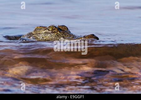 Close-up of Nile crocodile (Crocodylus niloticus) - Stock Photo