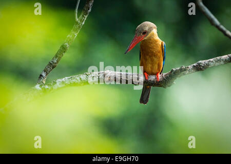 Stork-billed kingfisher (Pelargopsis capensis) hunting in a mangrove - Stock Photo