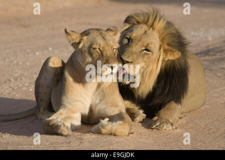 Lion, Panthera leo, male grooming lioness during courtship, Kgalagadi Transfrontier Park, South Africa - Stock Photo