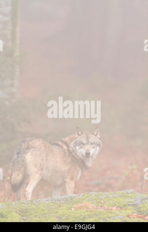 A captive male grey wolf stands on a rock in a misty forest, Bavarian Forest National Park, Germany - Stock Photo