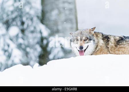 Captive Grey Wolf (Canis lupus) panting - Stock Photo