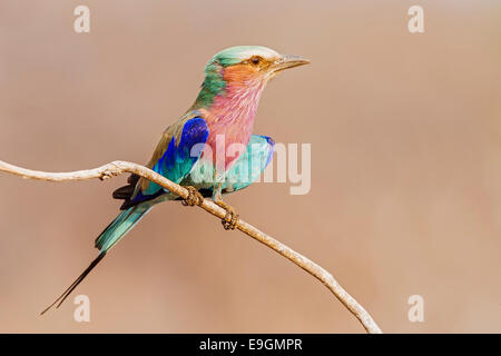 Lilac-breasted roller (Coracias caudatus) perched on a shrub at sunrise, Chobe National Park, Botswana - Stock Photo