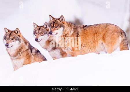 Captive Grey Wolf (Canis lupus) constantly alert and engaged with their surroundings - Stock Photo