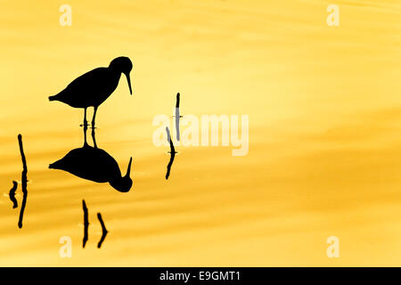 Silhouette reflection of a redshank (Tringa totanus) at sunset in a coastal wetland / tropical mangrove forest - Stock Photo
