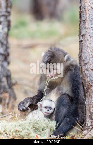 A Yunnan Snub-nosed Monkey (Rhinopithecus bieti) mother feeds while her baby clings to her side - Stock Photo
