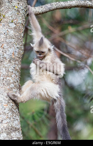 Juvenile Yunnan Snub-nosed Monkey (Rhinopithecus bieti) descending a tree - Stock Photo