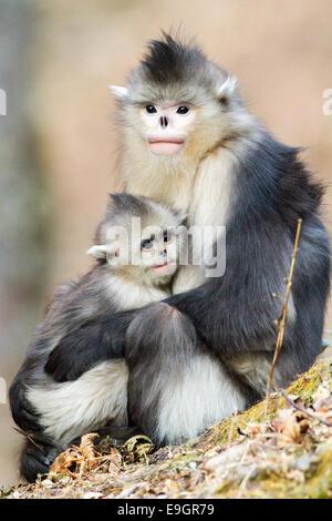 Adult female Yunnan Snub-nosed Monkey (Rhinopithecus bieti) holding infant - Stock Photo