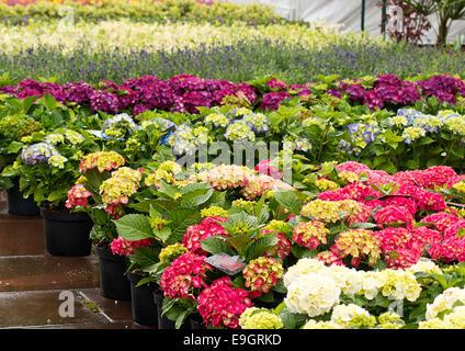 Rows of flowers for sale at a retail garden center, nursery or market garden. - Stock Photo