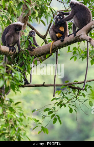 A Dusky leaf monkey (Trachypithecus obscurus) family squabble over who looks after baby in the rainforest canopy - Stock Photo