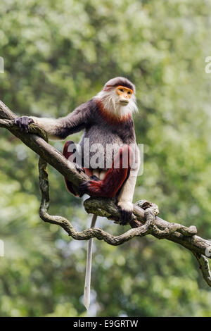 Red-shanked douc (Pygathrix nemaeus) adult male - Stock Photo