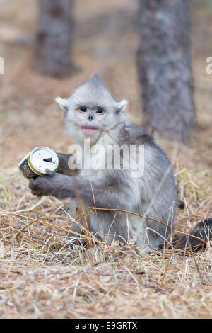 A juvenile Yunnan Snub-nosed Monkey (Rhinopithecus bieti) inspects a piece of trash (beer can) - Stock Photo