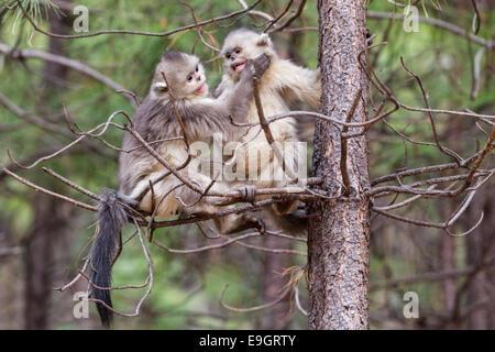 Juvenile Yunnan Snub-nosed Monkey (Rhinopithecus bieti) playing - Stock Photo