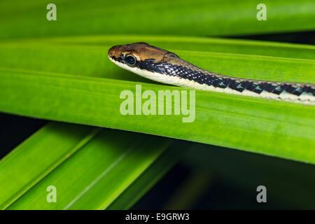 Painted Bronzeback Tree Snake (Dendrelaphis pictus) - Stock Photo