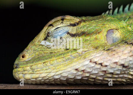 Close-up side profile of Changeable lizard (Calotes versicolor) sleeping on a bush at night in Singapore - Stock Photo
