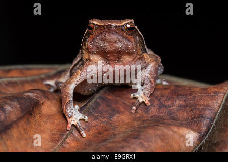 Black-spotted Sticky Frog (Kalophrynus pleurostigma) in a Malaysian tropical rainforest at night - Stock Photo