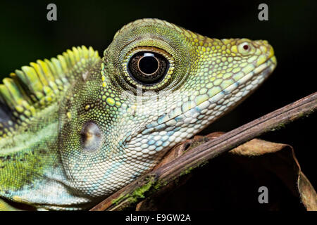Adult male Great Anglehead Lizard (Gonocephalus grandis) resting during the night on a tree in a Malaysian tropical - Stock Photo
