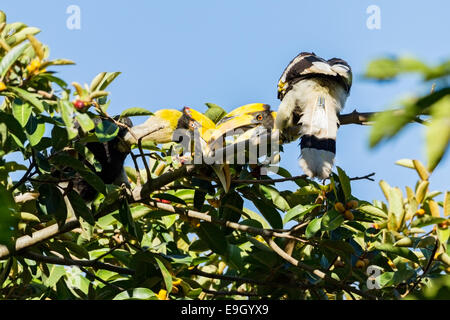 A breeding pair of Great hornbills (Buceros bicornis) courting in tropical rainforest canopy - Stock Photo