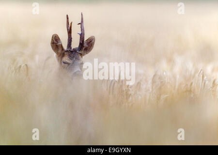 Adult male Roe deer courting in an arable field during the summer rut, Norfolk, England - Stock Photo