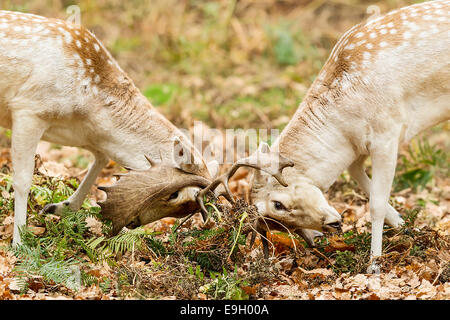 Fallow deer (Dama dama) stags locking antlers during their annual rut - Stock Photo