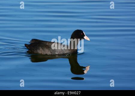 Common coot, Fulica atra, swim - Stock Photo