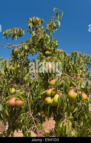 Pear tree, Las Navas de la Concepcion, Seville province, Region of Andalusia, Spain, Europe - Stock Photo