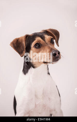 Danish Swedish Farmdog - Stock Photo