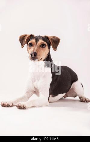 Danish Swedish Farmdog, lying - Stock Photo