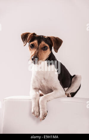 Danish Swedish Farmdog lying on a stool - Stock Photo