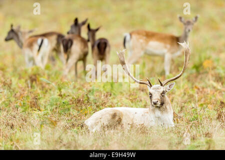 Fallow deer (Dama dama) stag sitting in front of harem of hinds during annual rut - Stock Photo