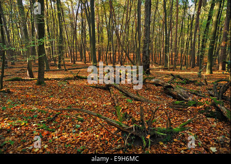 Dead trees in a natural beech forest (Fagus), Hesse, Germany - Stock Photo