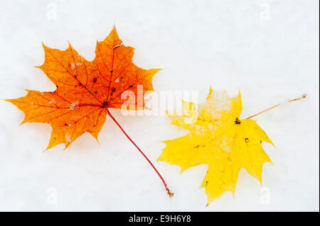 Autumn leaves, Norway Maple leaves (Acer platanoides) in the snow, Salzburg State, Austria - Stock Photo