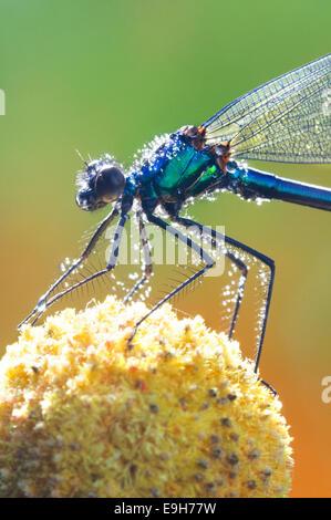Italy, Lombardy, Banded Demoiselle, Calopteryx Splendens - Stock Photo