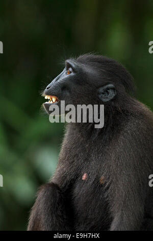 Close-up side profile of a captive Sulawesi crested macaque (Macaca nigra) - Stock Photo