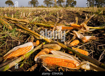 Agricultural waste: maize ears left on a field after harvest - Stock Photo